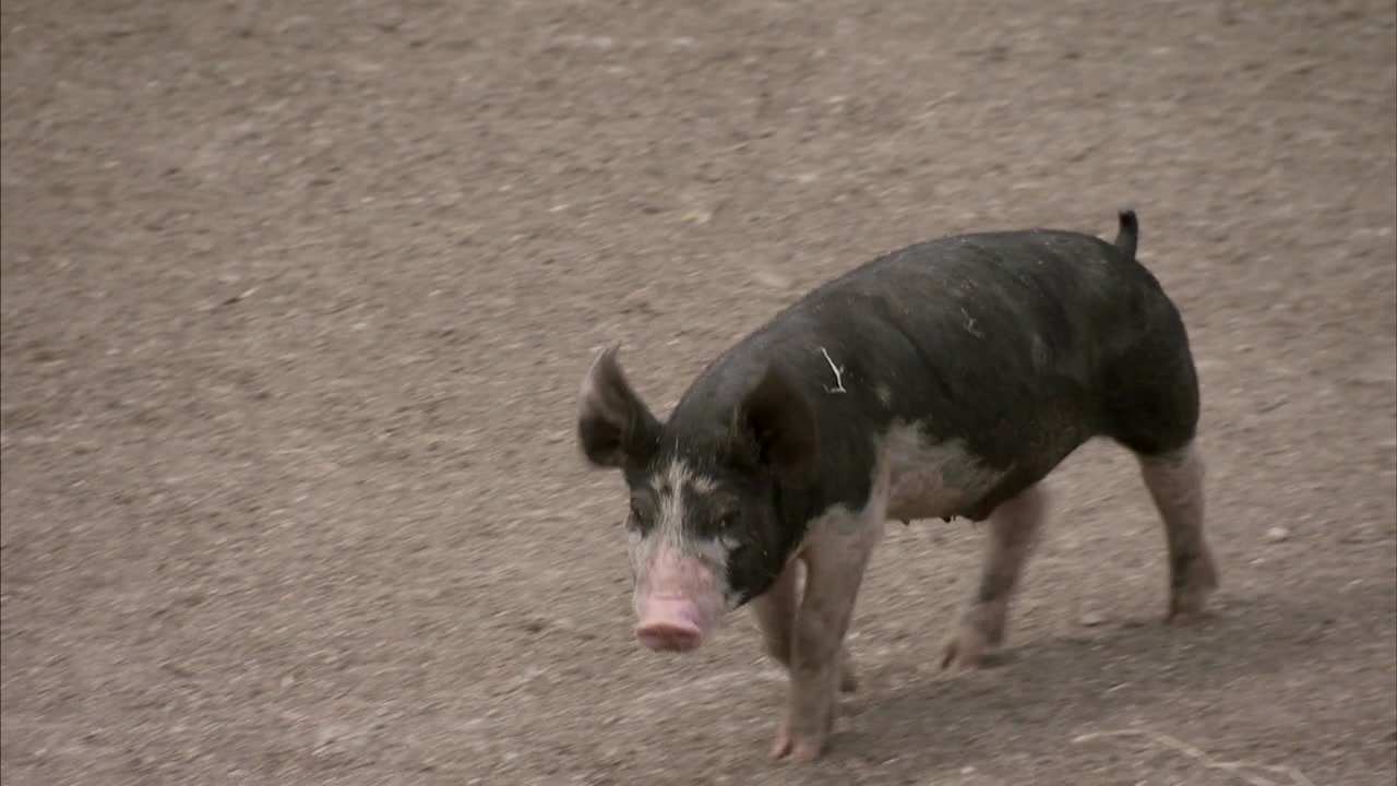 'America's Heartland': Iowa Hog Farm