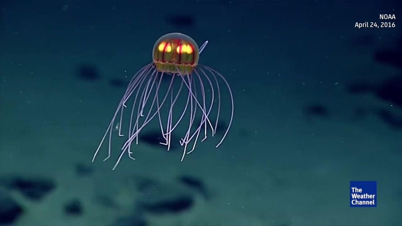 Unique Jellyfish Discovered