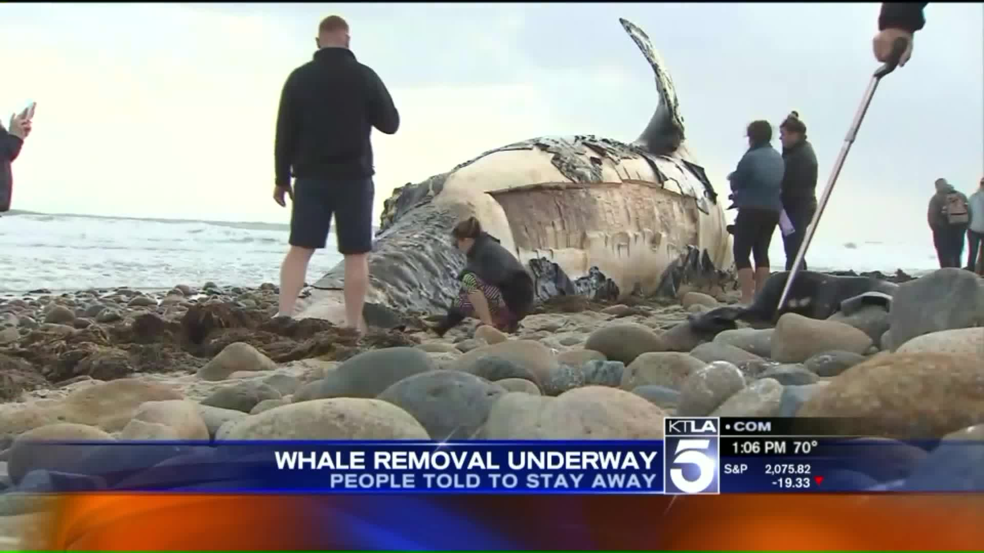 Workers Begin To Cut Up 40-Foot Whale Carcass For Removal From Beach