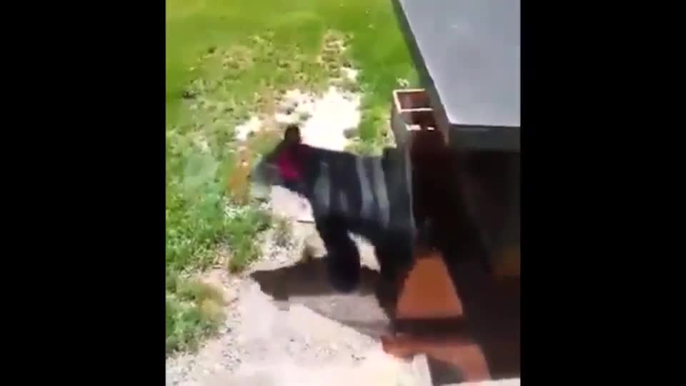 WATCH: Little bear jumps off table into window