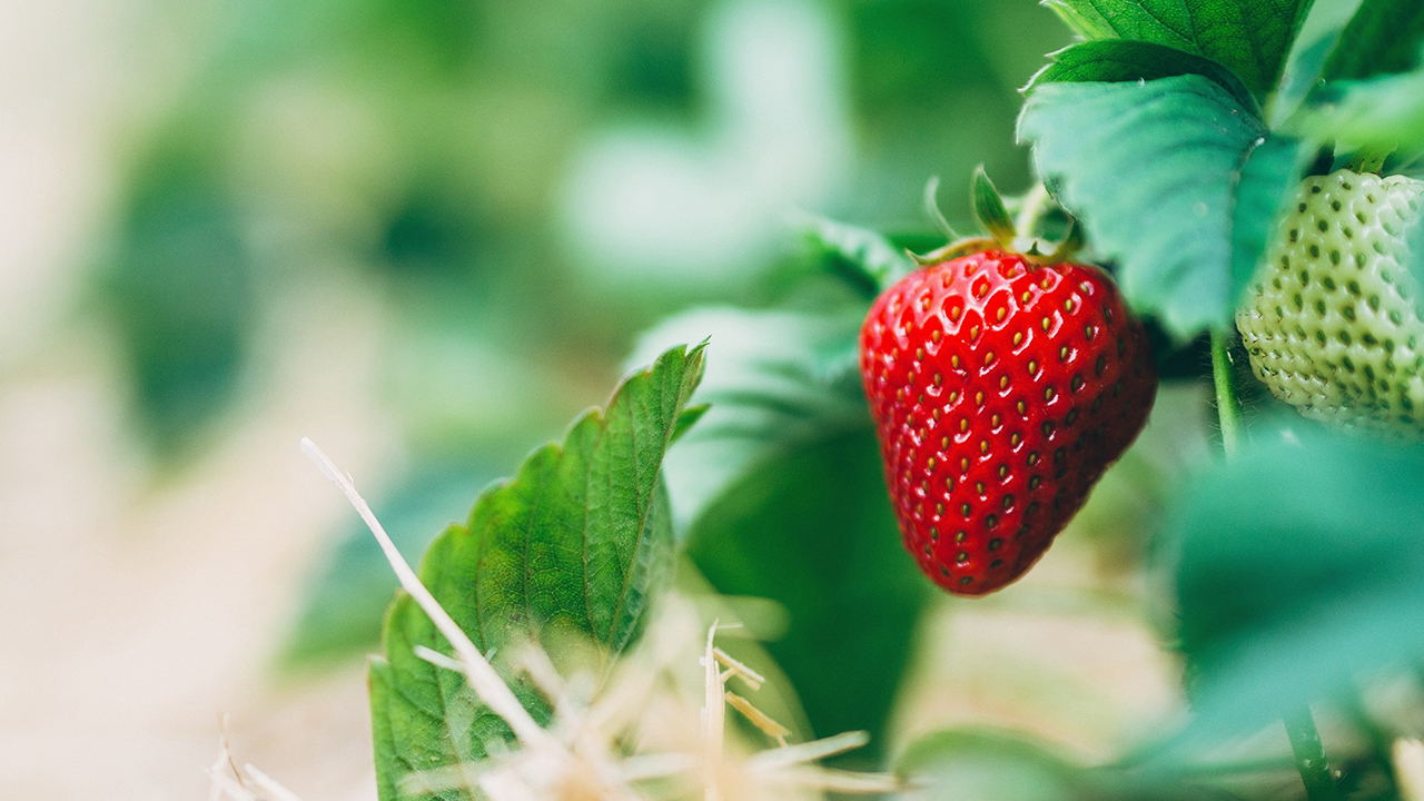 11 Fun Facts All Strawberry Lovers Should Know