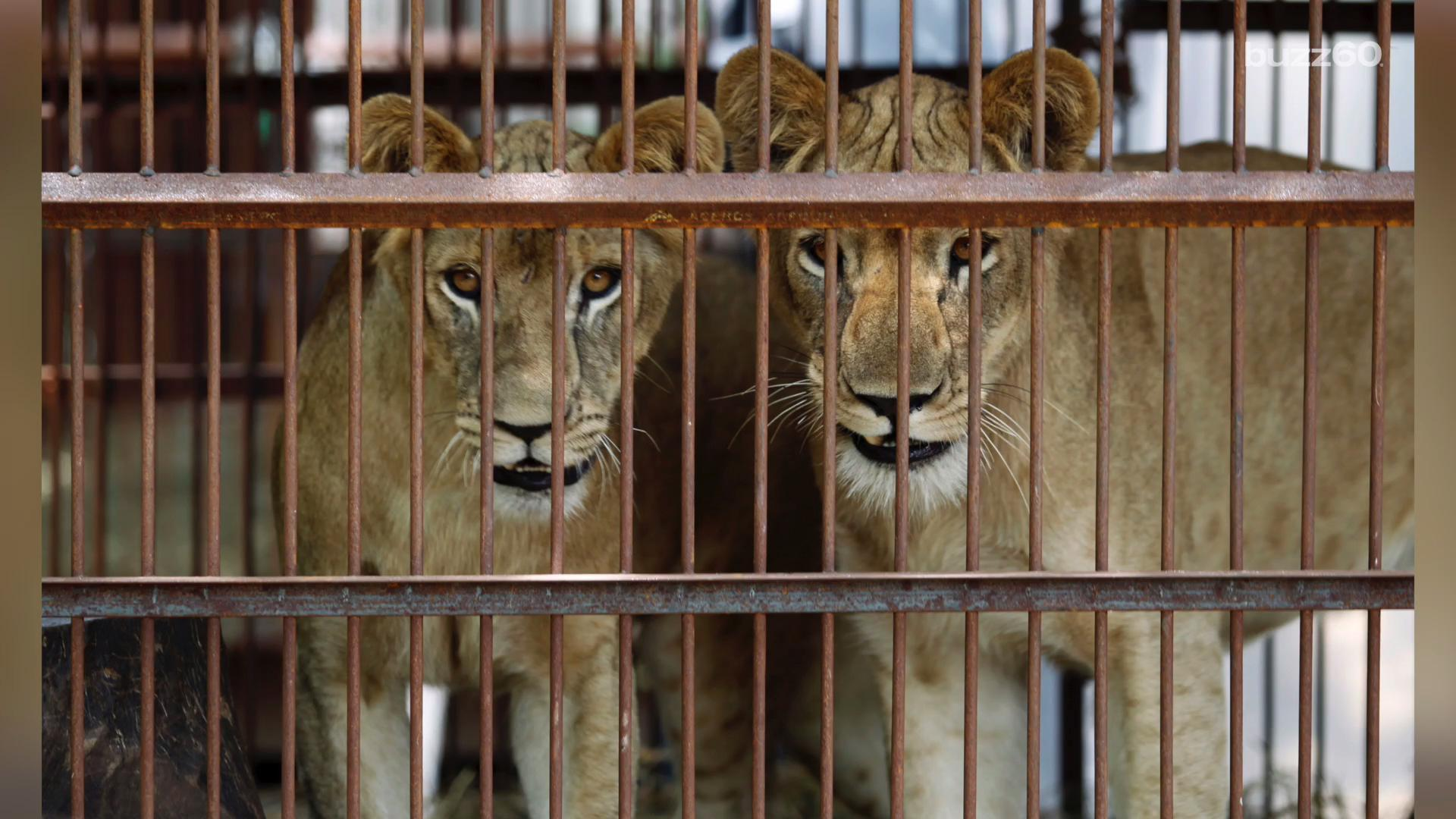 One of the Largest Circus Lion Rescues Ever