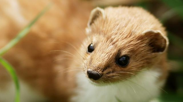 Tiny Weasel Accused of Shutting Down Big, Expensive Science Machine