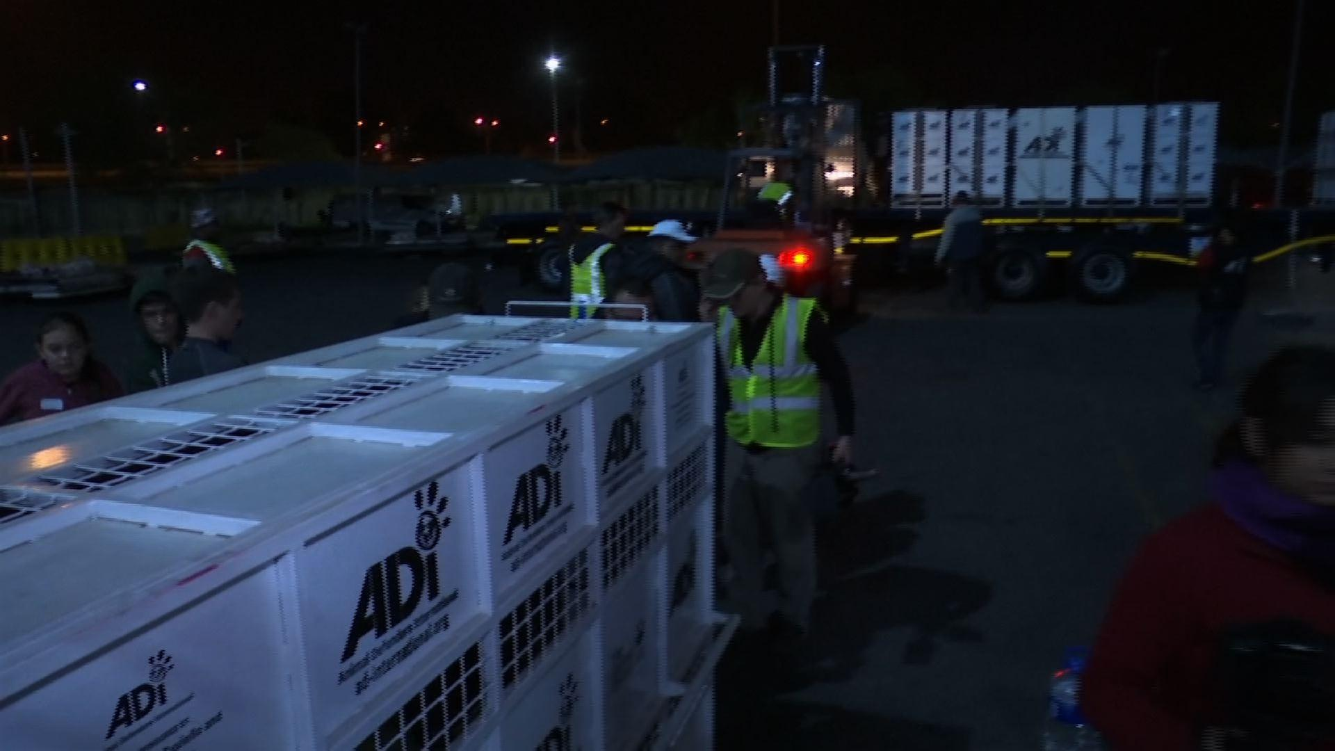 Rescued Circus Lions Arrive in South Africa