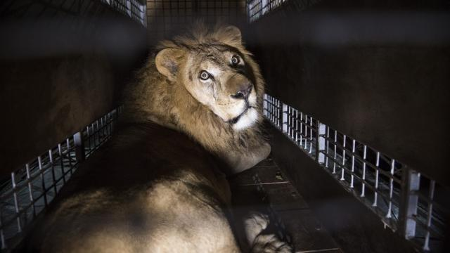 Over 30 Rescued Circus Lions Are Moving Into a 12,000-Acre Sanctuary