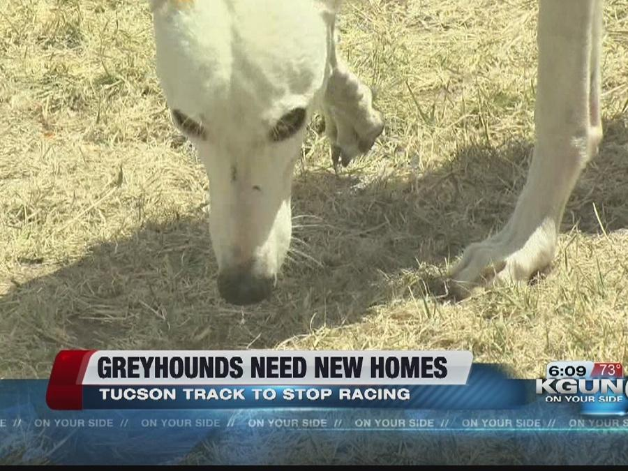 Hundreds of greyhounds up for adoption as Tucson track prepares to end racing