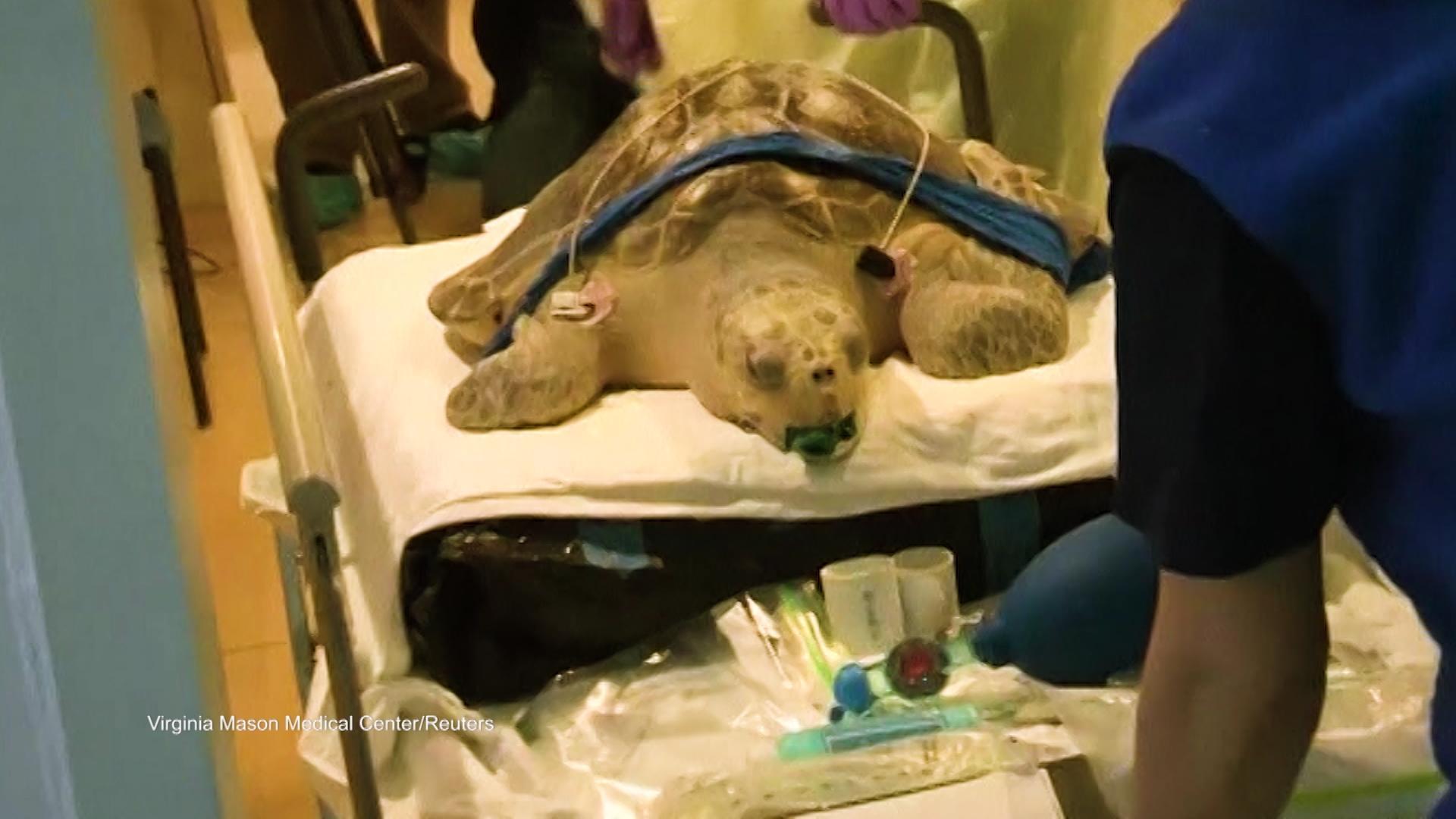 'DNews Daily Bite': Endangered Turtle Battles Buoyancy Disorder