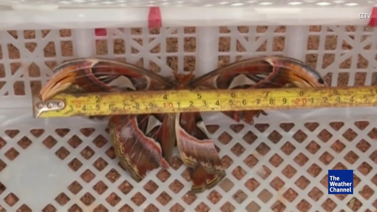 Giant Butterflies Found at Construction Site