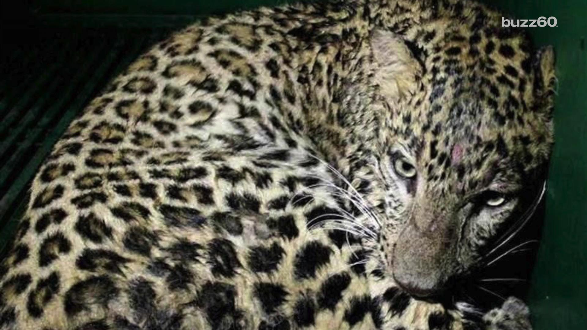 Leopard Rescued After Getting Trapped in Home
