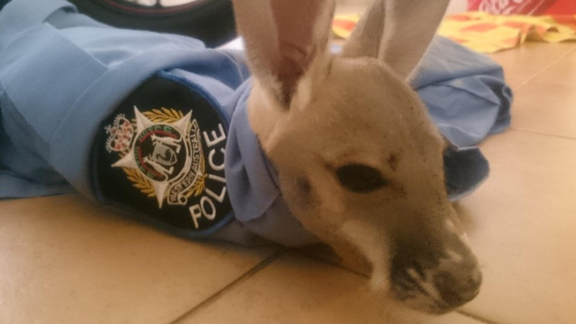 Orphaned Kangaroo Rescued Yet Again After Being Snatched By Eagle