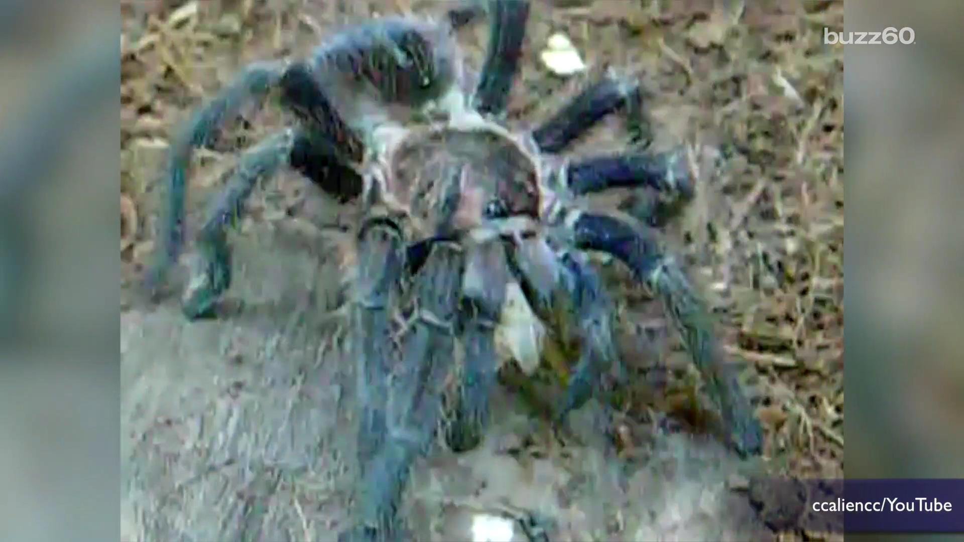 Tarantulas Escape on a Plane During Flight