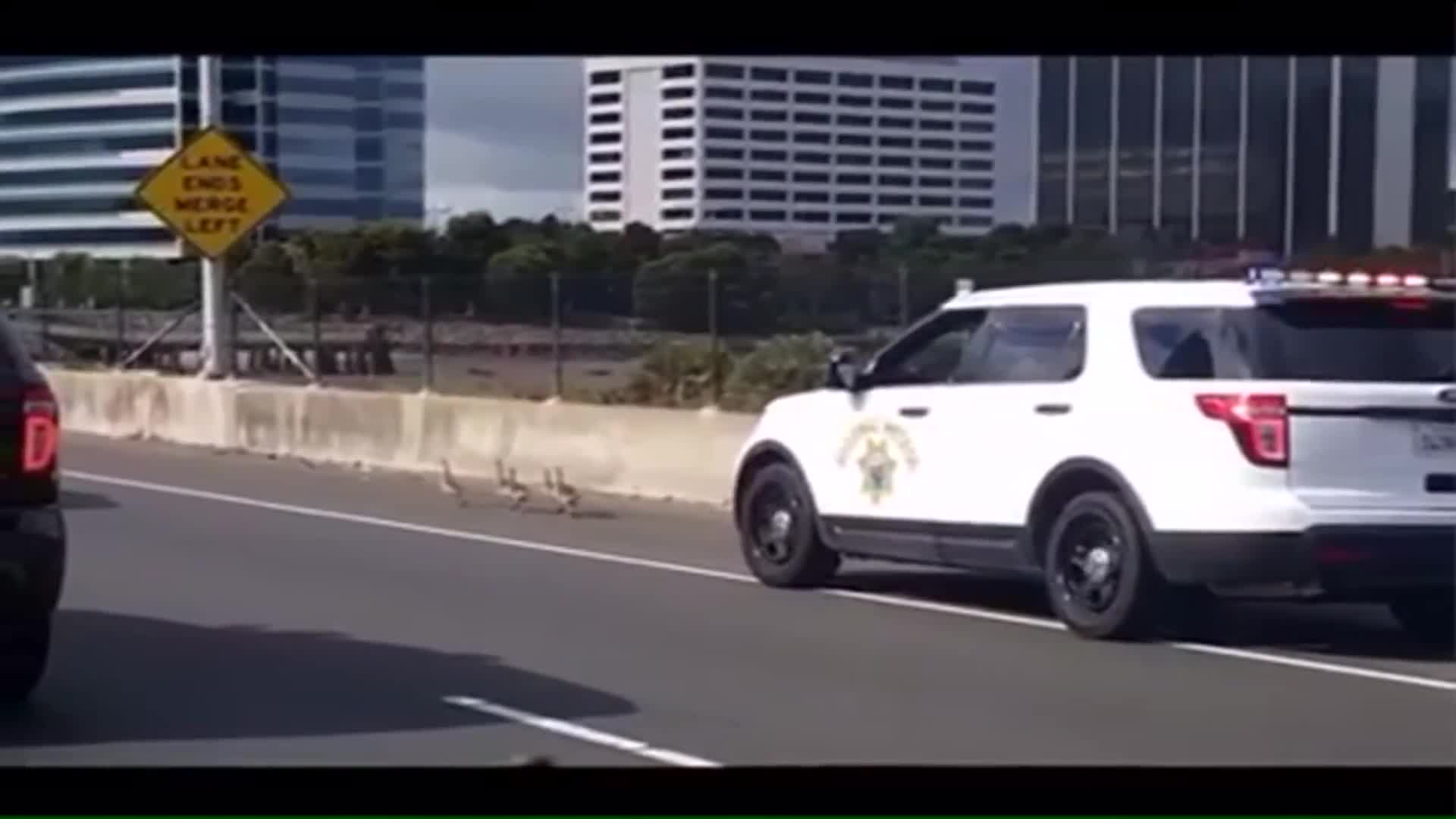 Baby Geese Lead Officers on 'Slowest Pursuit Ever'