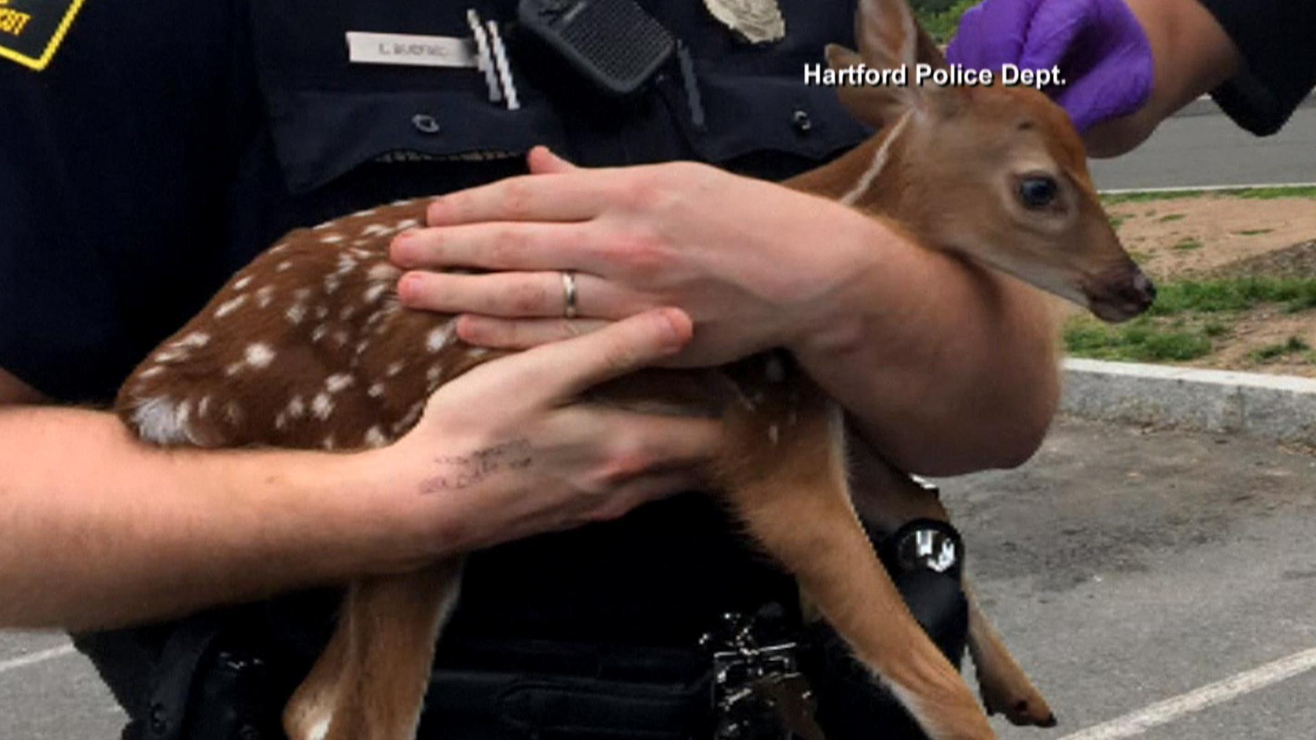 Learn how this baby deer was rescued by the police