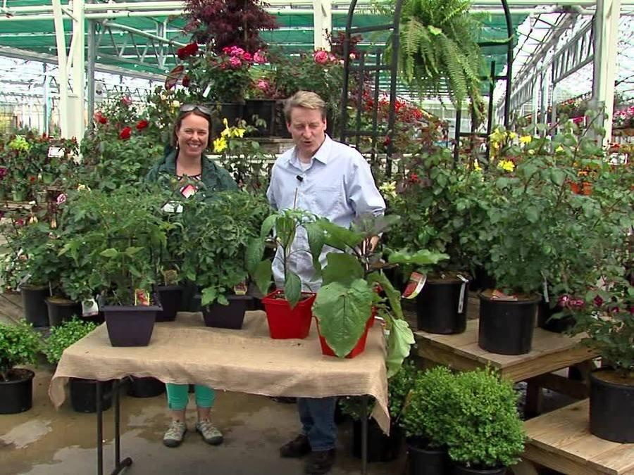 Grafted Vegetable Plants