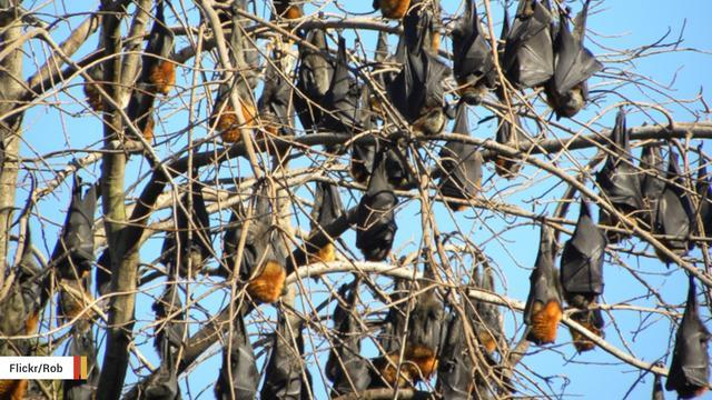 Australian Town Plagued By Over 100,000 Bats