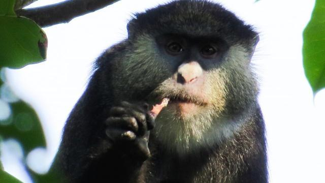 For First Time, Scientists Have Observed African Monkeys Eating Bats