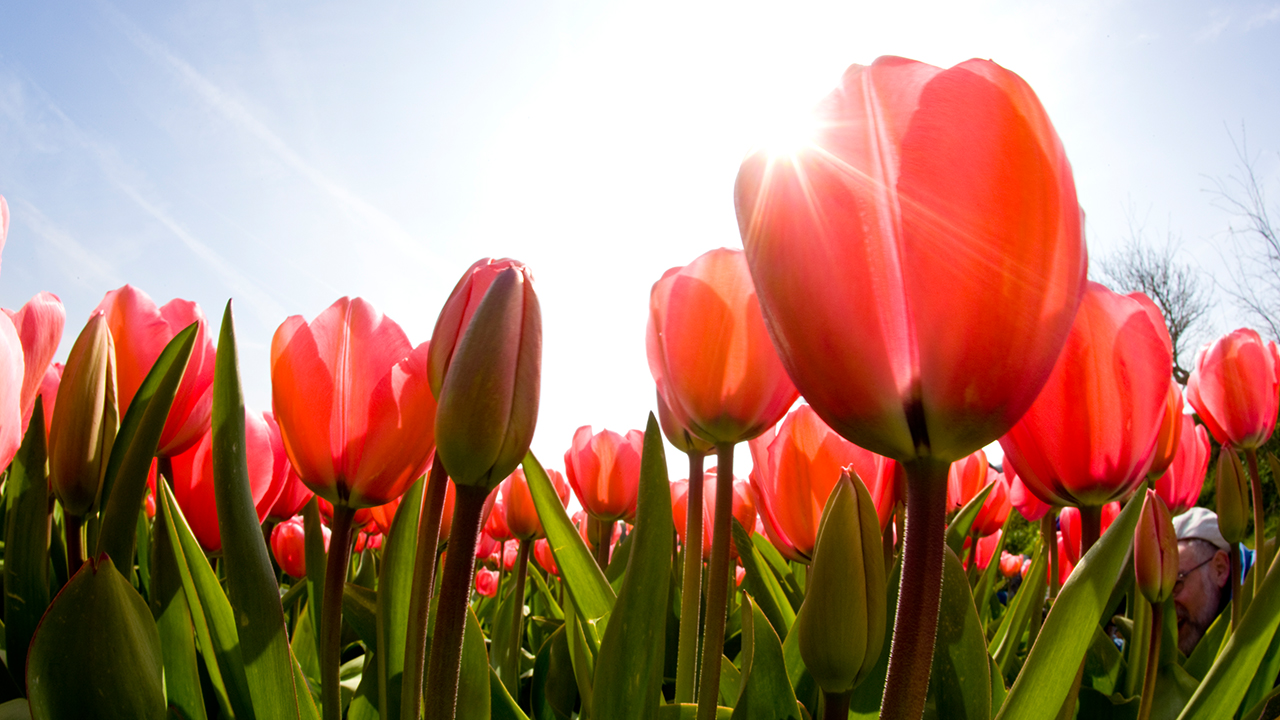 11 Facts Every Tulip Lover Should Know