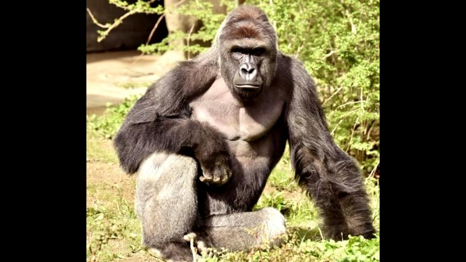 Gorilla shot after child falls into zoo enclosure