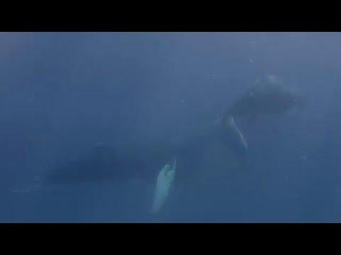 Diver Gets Close-Up Footage of Humpback Whales