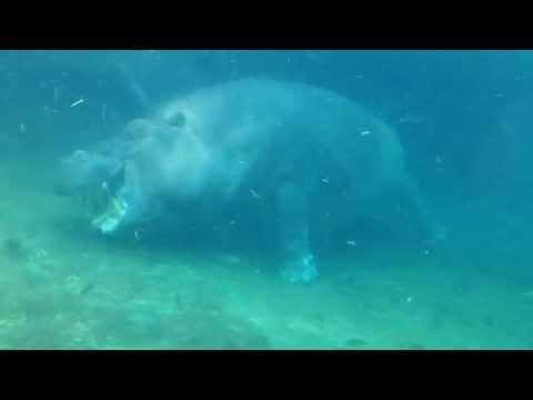 Man Plays Peek-a-Boo with a Hippo