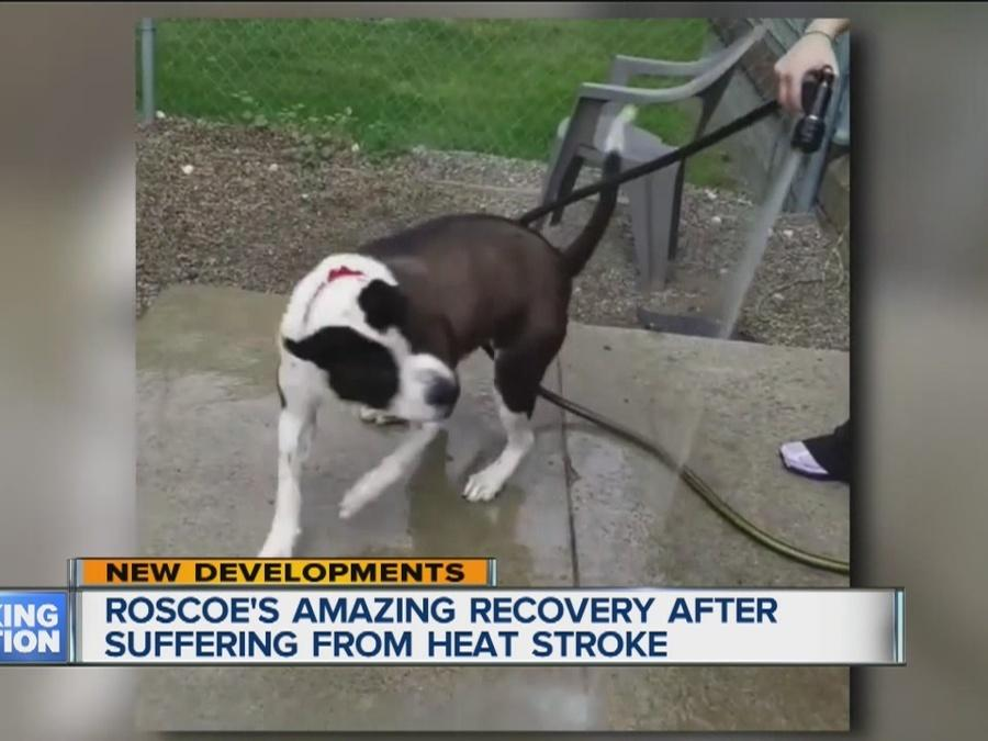 Roscoe's amazing recovery from heat stroke