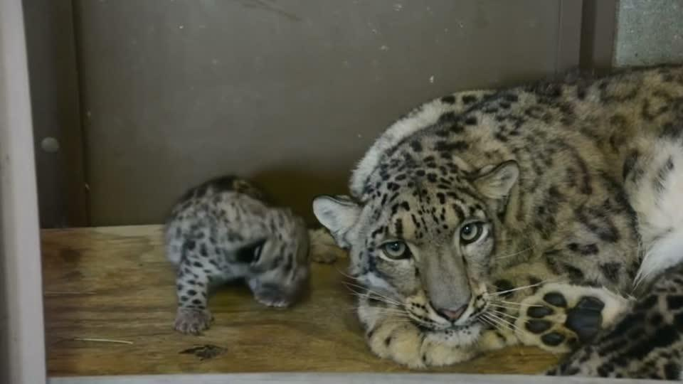 Baby snow leopards at Virginia zoo
