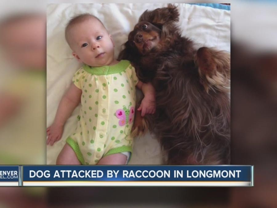 Dog attacked by raccoon in Longmont