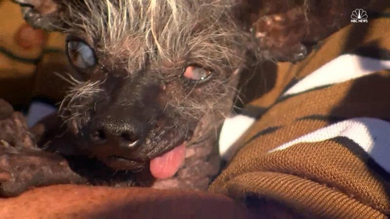 Four-Pound Chihuahua Crowned World's Ugliest Dog