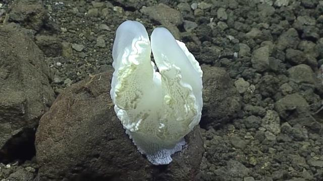 Aliens Do Exist! Ocean Explorers Encounter A Strange, Beautiful Creature