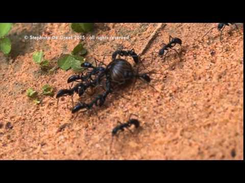 Blue Ants Work Together to Get Food