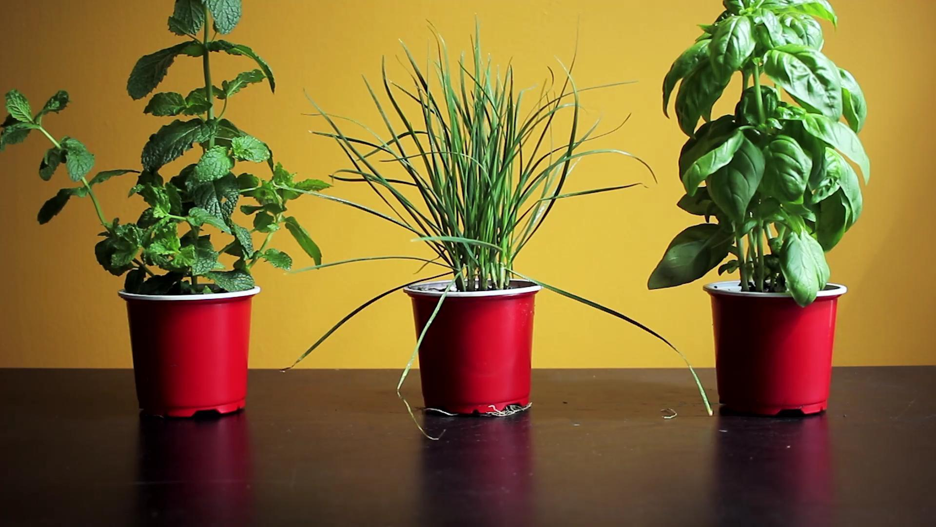 Six Herbs You Can Easily Grow Indoors