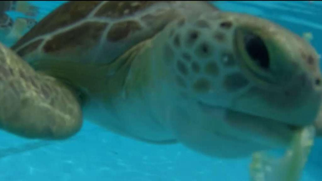 Turtle Rehab in the Florida Keys