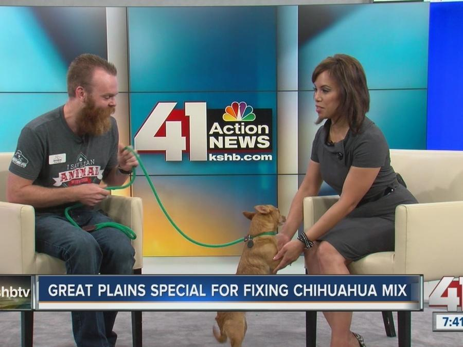 Great Plains special for fixing chihuahua mix