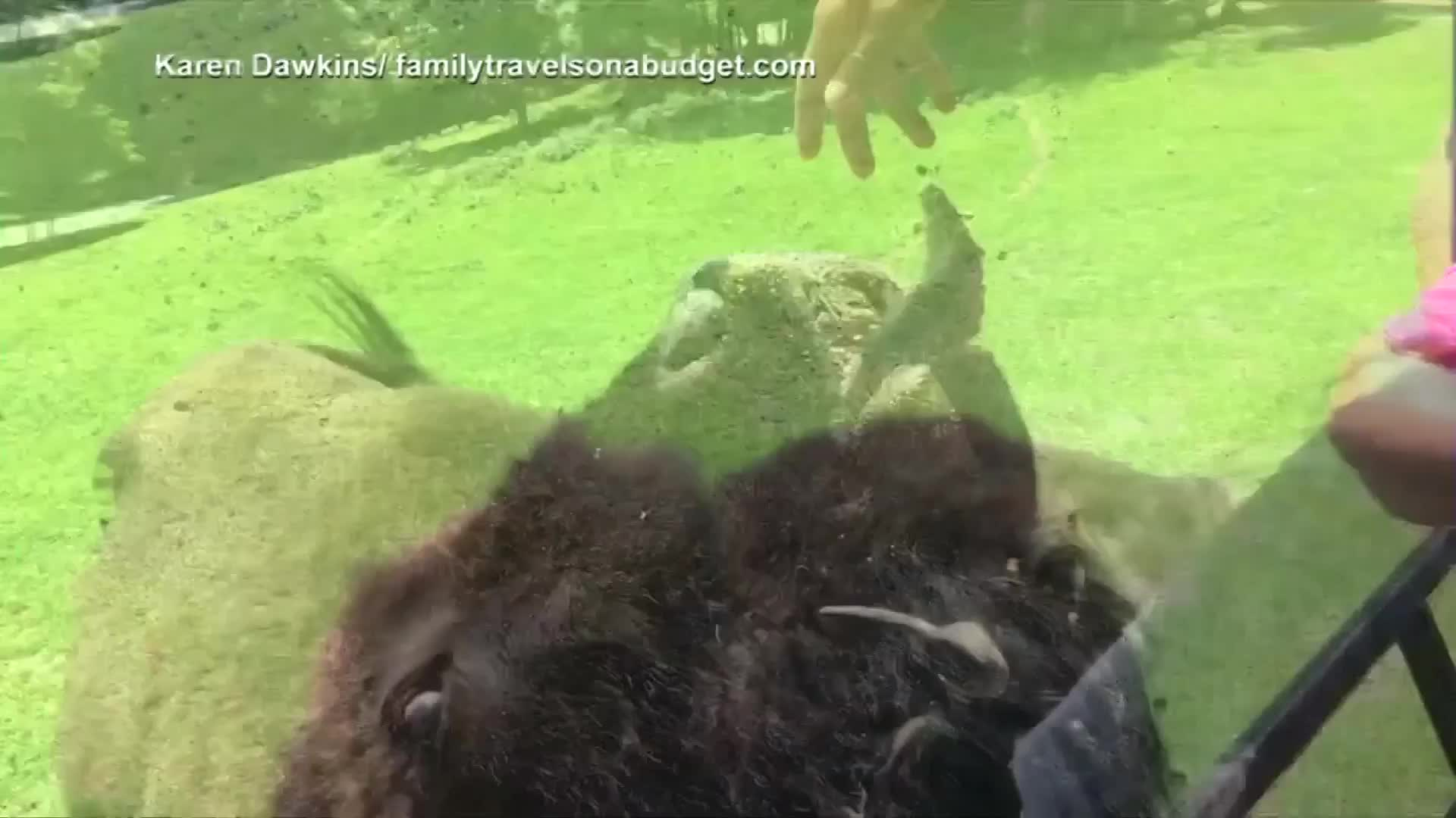 Kids marvel at Virginia bison's giant tongue at feeding time