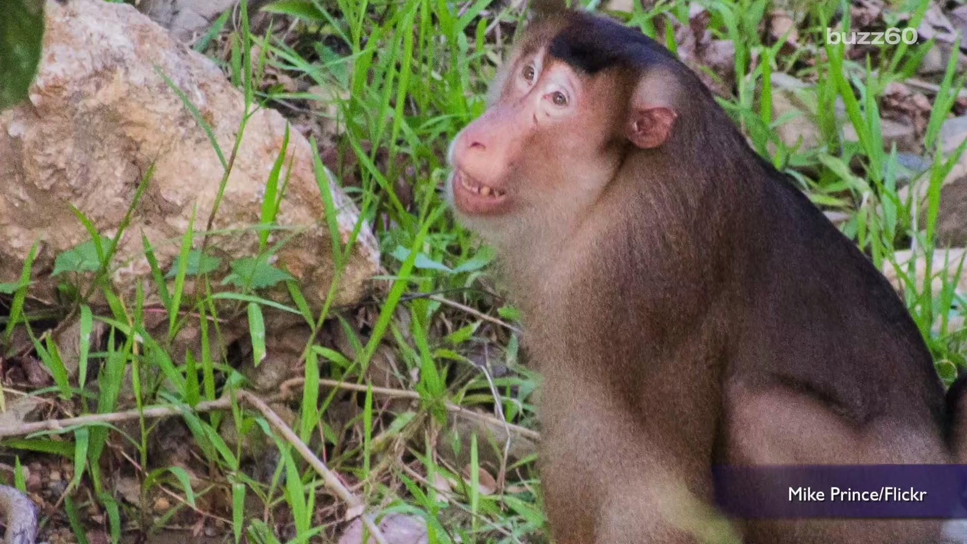 Monkeys Destroy Voter Lists in Thailand