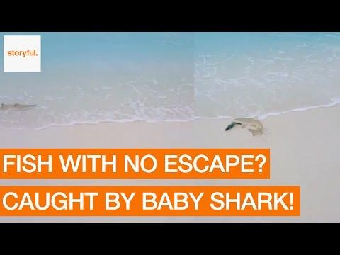 Baby Shark Catches Fish on a Maldives Beach