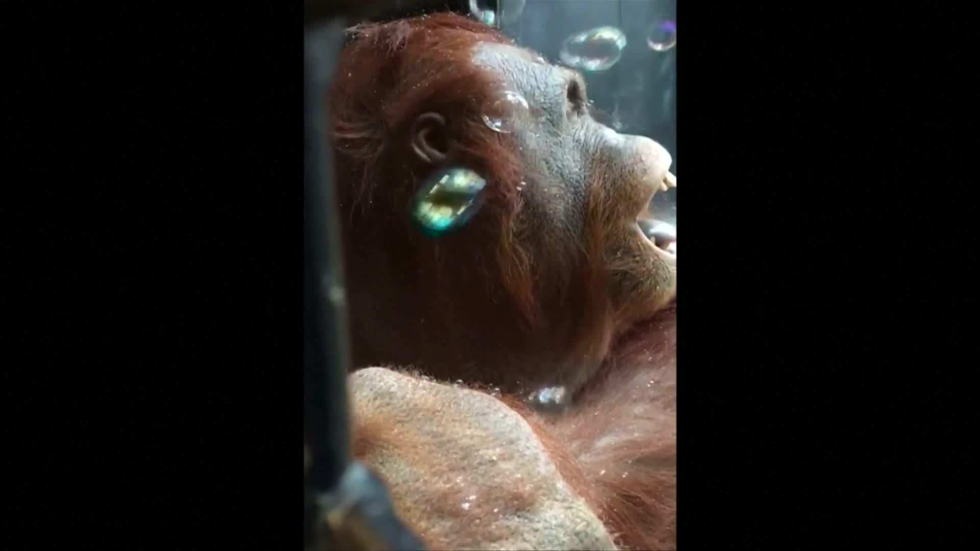 Orangutan monkeys around with bubbles at playtime