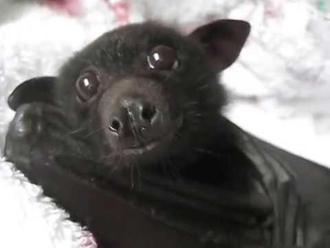 Rescued Bat Gradually Restoring Health