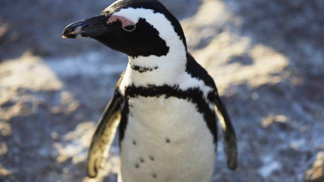 Climate Change and Overfishing Put African Penguins in Danger