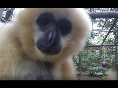 Curious Gibbons Attracted to the Camera