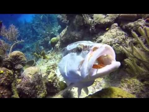 Grouper Swims With Mouth Open in Caribbean