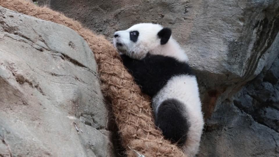 Twin giant panda cubs make outdoor debut at U.S. zoo
