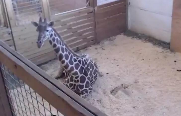 Is April the giraffe even pregnant?