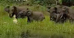 Frightened Elephant Fights Crocodile Snapping at Its Trunk