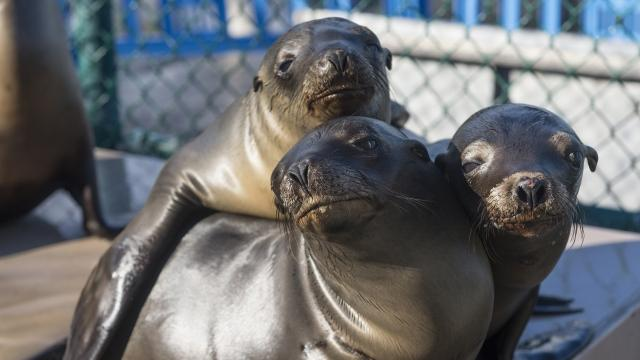 Sea Lions in California Are Dying Because of a Toxic Algae