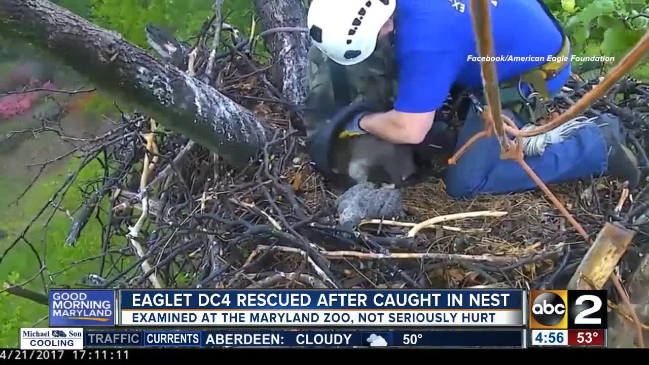 Workers stage daring rescue after eaglet gets stuck in nest