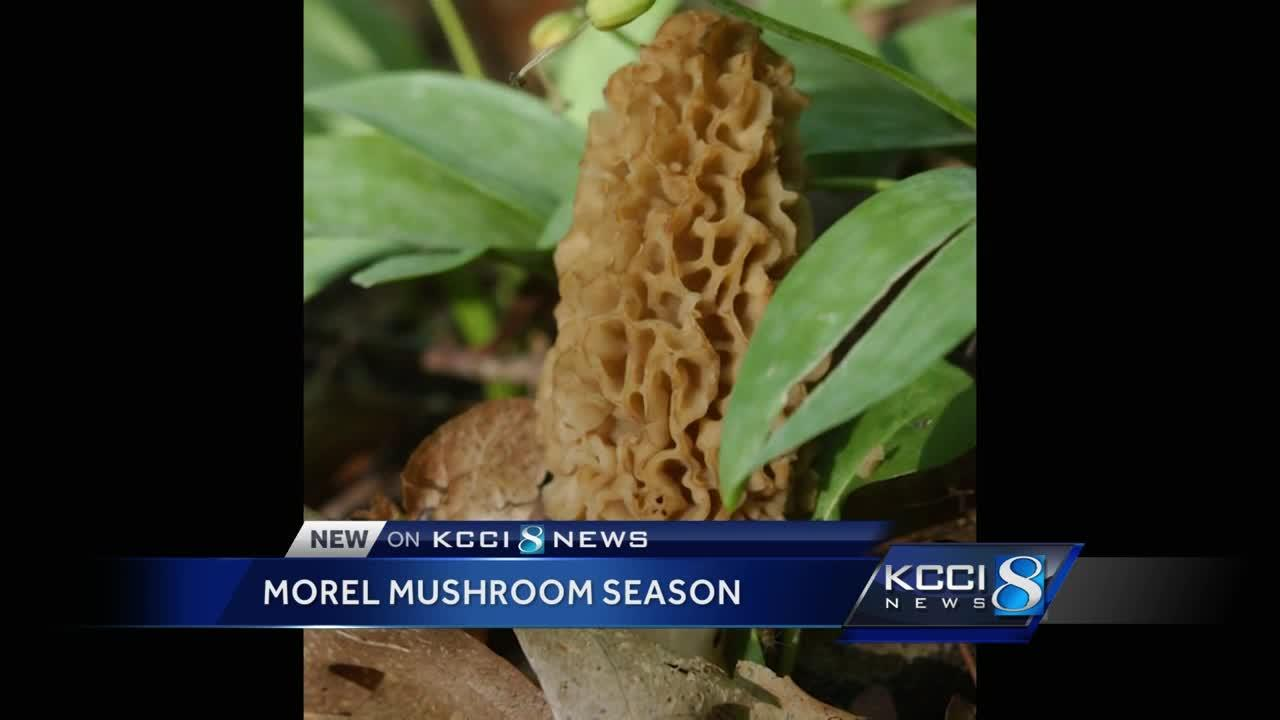 Experts: Morel mushrooms harder to find this year