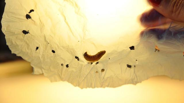 Plastic-Eating Caterpillars Could Help Us Get Rid Of Discarded Shopping Bags