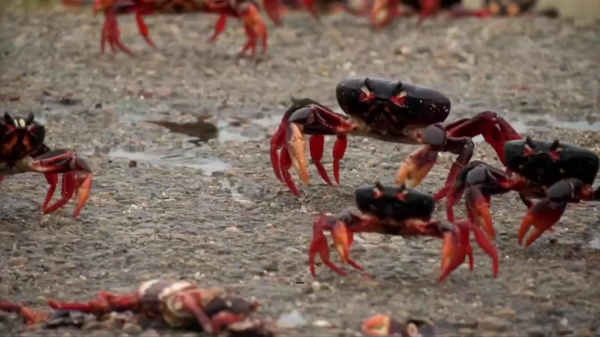 Watch as the Bay of Pigs is Invaded by Millions of Crabs