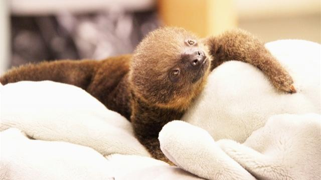 Lua, a Two-Toed Sloth, Born at Memphis Zoo